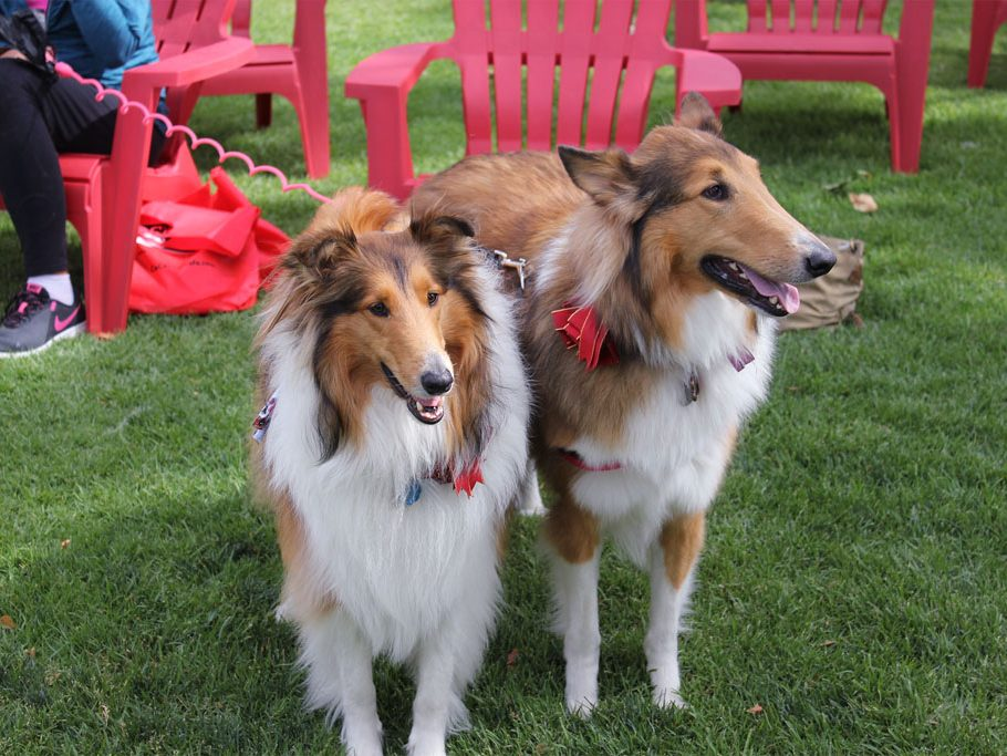 Two Border Collies watch the commotion of the Dog Fair. (Taya Buehler-Reagan)