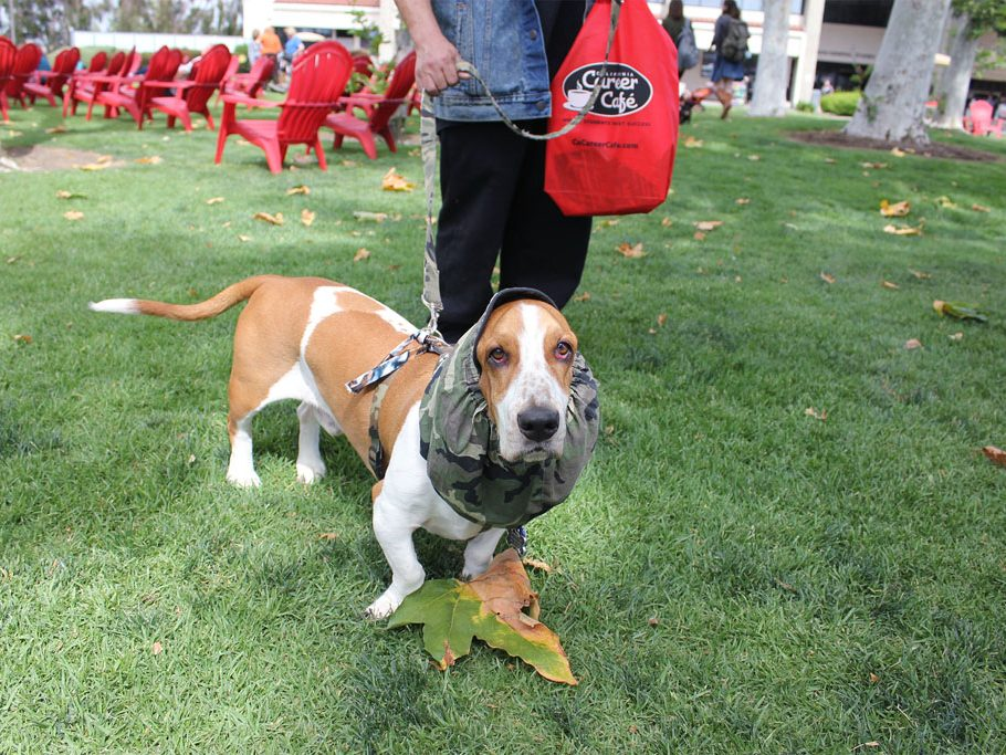 Bassett Hound McCoy wears his army green hat and makes his way to the nearest treat vendor. (Taya Buehler-Reagan)