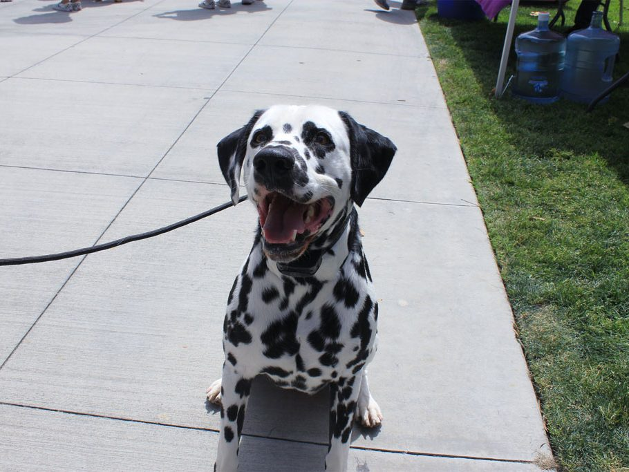 Jax the Dalmatian sits for a treat before showing off his next trick. (Taya Buehler-Reagan)