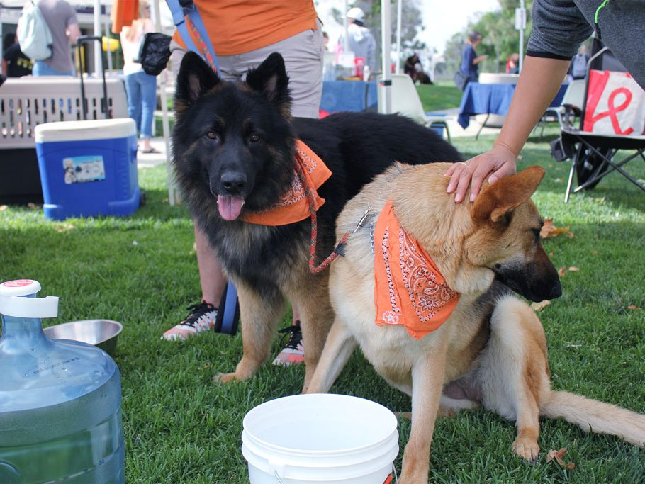 German Shepherd's Trevor (left) and Tina (right) up for adoption gather around their water bucket for a quick drink. (Taya Buehler-Reagan)
